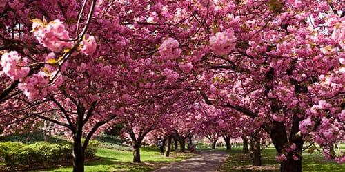 К чему снится сакура цветущая?    Сонник сакура цветет